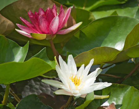 image of a lotus flower close-up 免版税图像