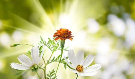 beautiful white flowers in the garden on green background сloseup 写真素材