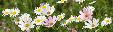 beautiful white flowers in the garden on green background �loseup