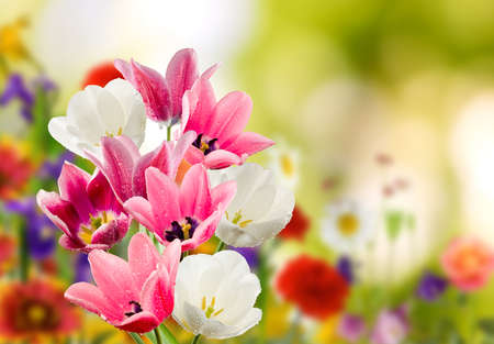 Image of many flowers of tulips in a garden closeup 版權商用圖片