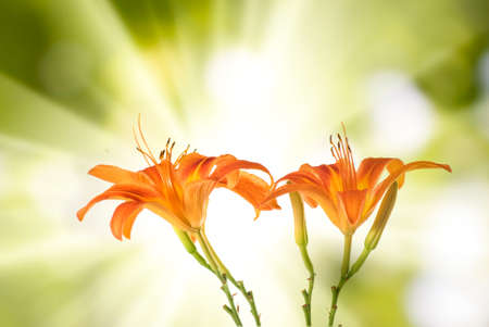 image of lilies flower against the sun closeup