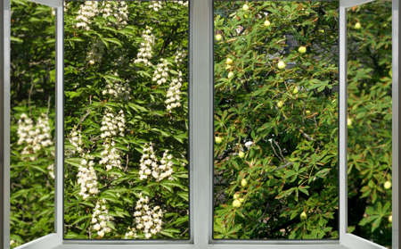 open window with a view of the spring flowering chestnut and chestnut, on which the fruits of the chestnut hang in autumn Stok Fotoğraf