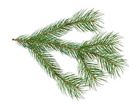 Isolated image of spruce branches on a white background