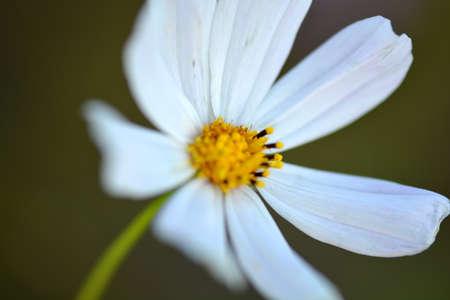 chamomile flower: macro chamomile white flower Stock Photo