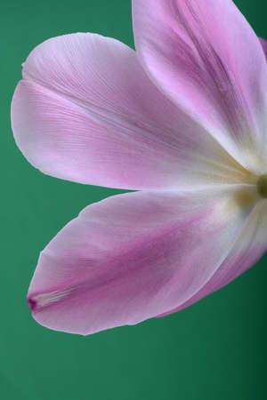 근접 단일 핑크 튤립 꽃 추상적 인 배경에 고립 스톡 콘텐츠
