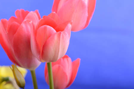 spring flowers banner - bunch of red tulip flowers on blue background Stock Photo
