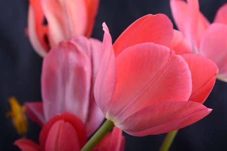 Dark red tulip, black background, sidelight, little light Stock Photo