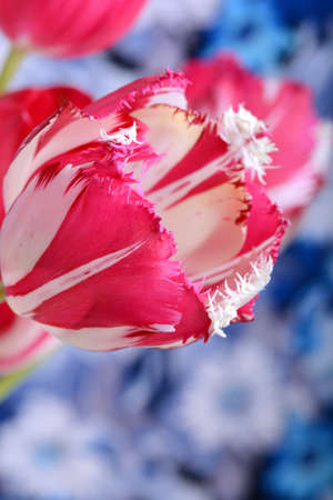 Close up of red Tulips blooming on abstract blue and white background