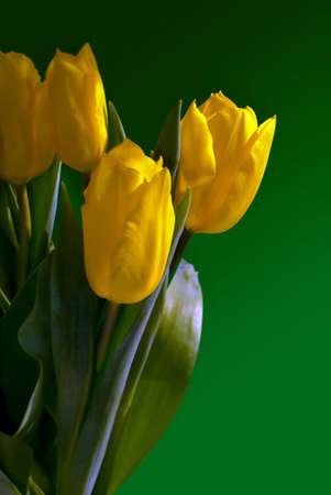 4 yellow tulips on green background Stock Photo - 2669412