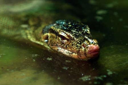 salvator: Head of a big reptile Varanus salvator in river.