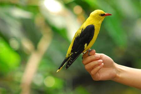 Oriole bird on girl hand. Stock Photo