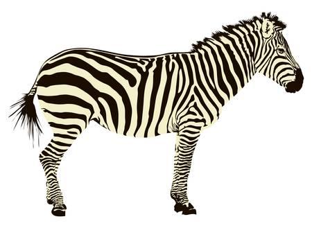 Two color illustration of zebra profile isolated on white background. Illustration