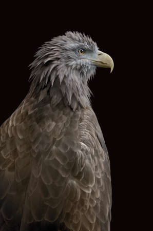 An sitting eagle portrait  Isolated with path on black  photo