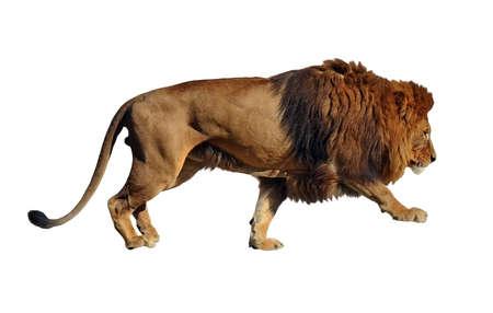 Isolated on white background lion body profile