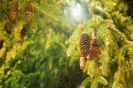 Pine cones hanging from a tree