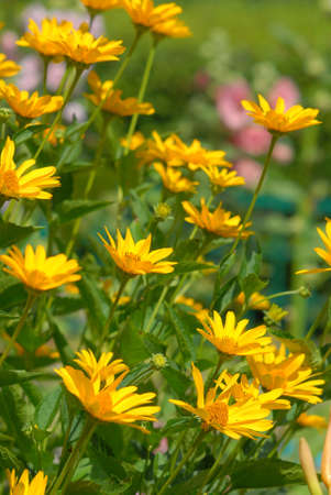 Garden yellow flowers in summer time.