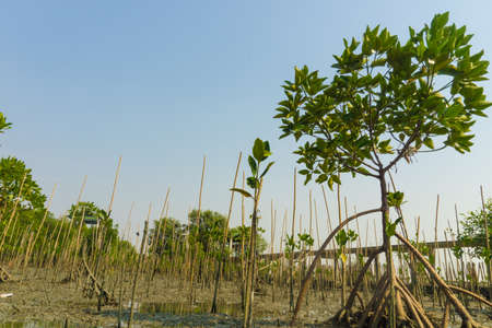 wetland conservation: Young mangrove forest on wetland in Thailand. In Mangrove conservation project.
