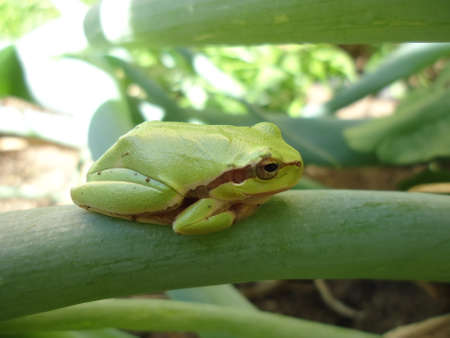 Green frog resting on onion leaf