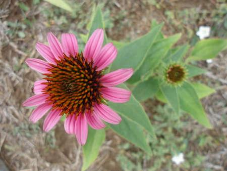 Echinacea purpurea flower close up Stock Photo - 22643169