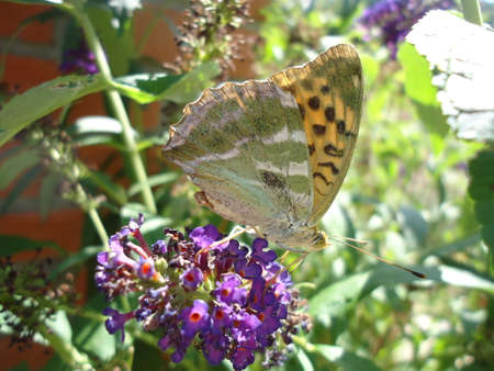Butterfly resting on buddleja davidii flower