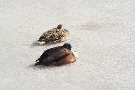 ducks on ice photo