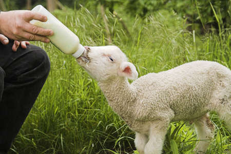 upbringing: lamb feeding Stock Photo