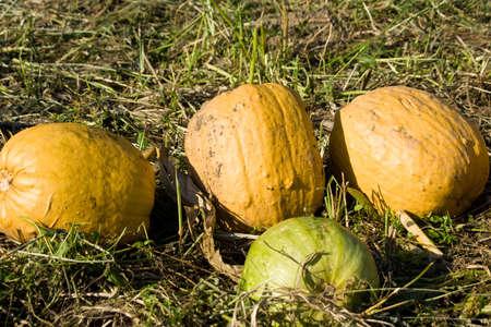 cucurbit: pumpkins on a field