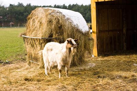 billy: billy goat on a farm