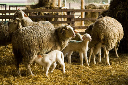 animal feed: sheep and lambs Stock Photo