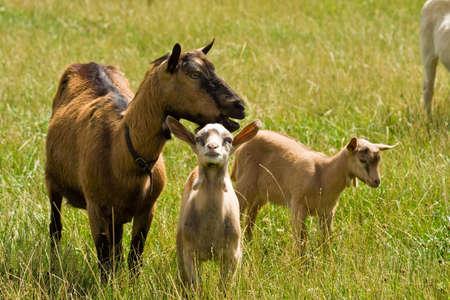 mammalian: goats Stock Photo