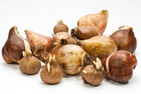 Tulip Zwiebeln, Narzisse Glühbirnen und Crocus Glühbirnen  Standard-Bild - 5866024