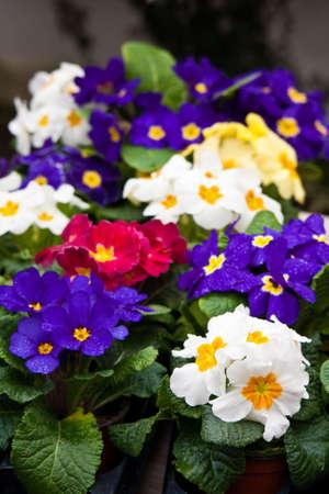 market stall: primroses on a market stall Stock Photo