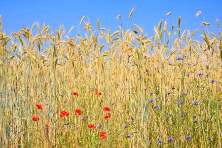 secale: rye field with corn poppy and cornflowers Stock Photo