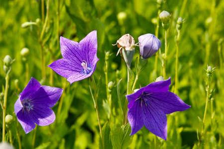 bellflower: Chinese bellflower