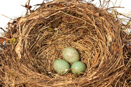 birds nest of a blackbird photo