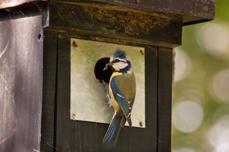 Blue tit at a birdhouse photo