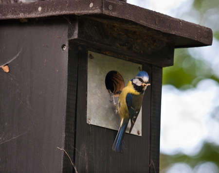 blue tit: Blue tit at a birdhouse Stock Photo