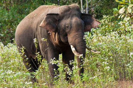 Indischer Elefant Standard-Bild - 11878668