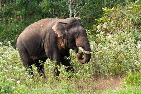 Indischer Elefant Standard-Bild - 11878674