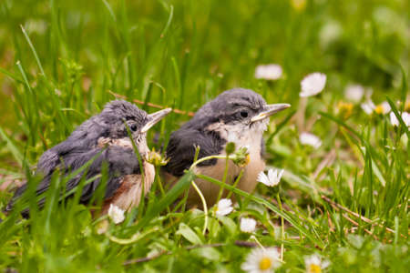 Young Nuthatches photo
