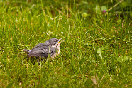 Young Nuthatch photo
