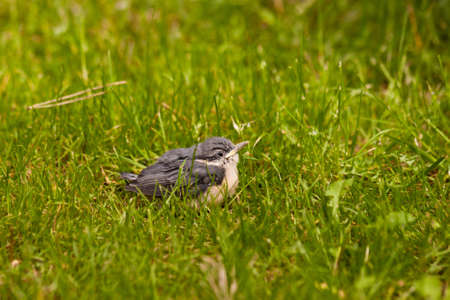 Young Nuthatch Stock Photo - 13180171
