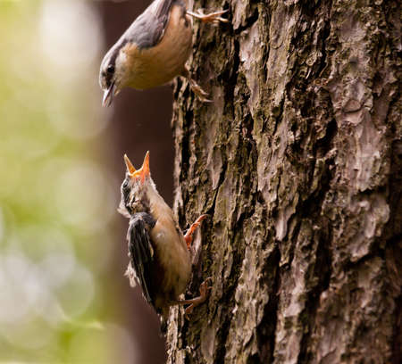 Young Nuthatche with mother photo