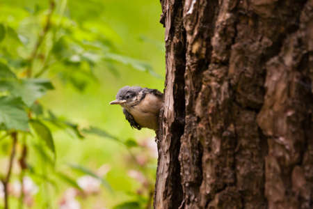Young Nuthatche photo