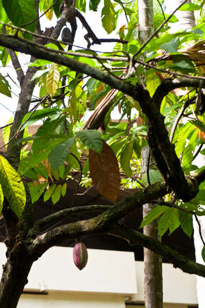 Cacao tree with cacaofruit photo