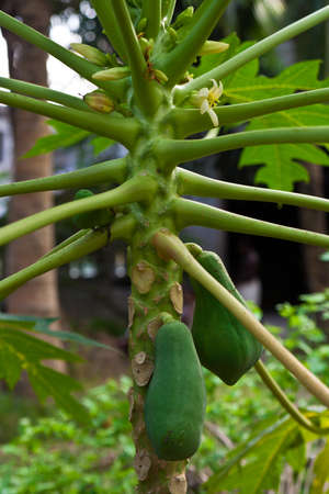 Papaya tree with fruits photo