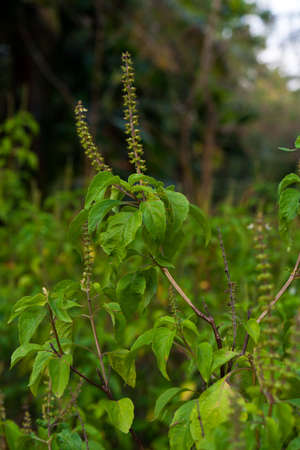 tulasi: Holy Basil or Tulsi Stock Photo
