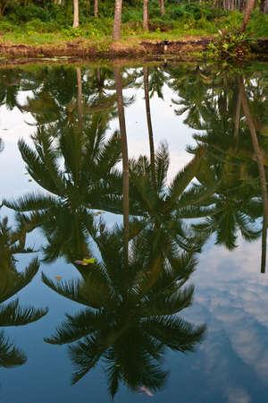 mirroring: Palm tree as mirroring in water