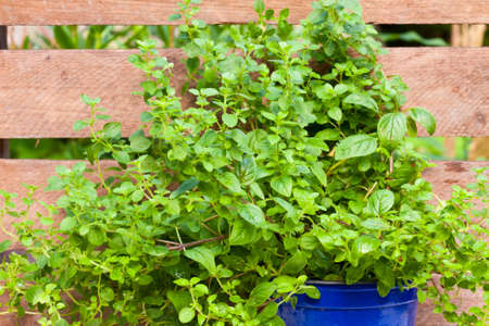 vulgare: Oregano or Wild Marjoram, Origanum vulgare Stock Photo