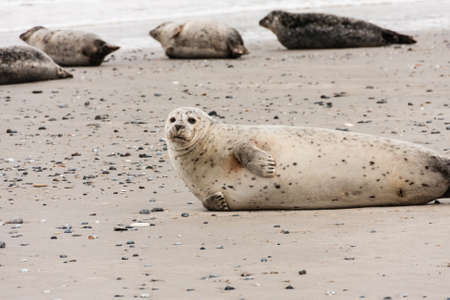helgoland: Harbor seal on Helgoland, Germany